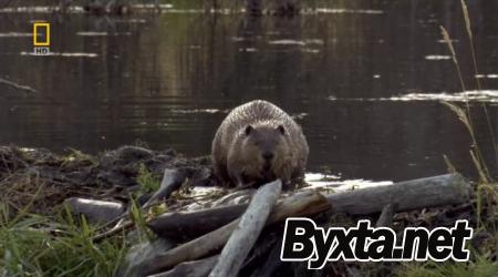 National Geographic: Бобровая плотина / National Geographic: Dam Beavers (2009) HDTVRip